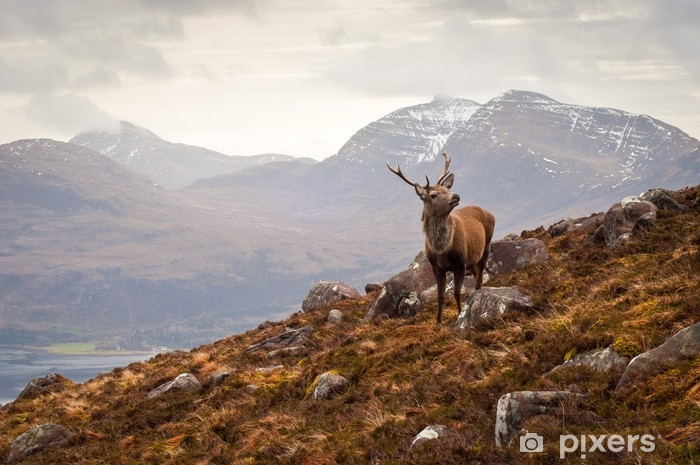 Wild stag, Scottish highlands Vinyl Wall Mural - iStaging