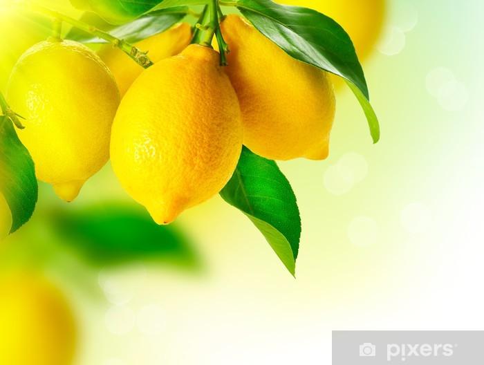 Fototapeta winylowa Lemon. Dojrzałe Cytryny Lemon wiszące na drzewie. Cytryna rośnie - Do jadalni
