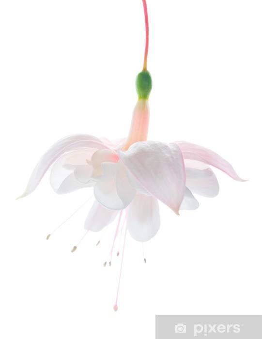 Fototapeta winylowa Biały czułość fuksja na białym tle - Kwiaty