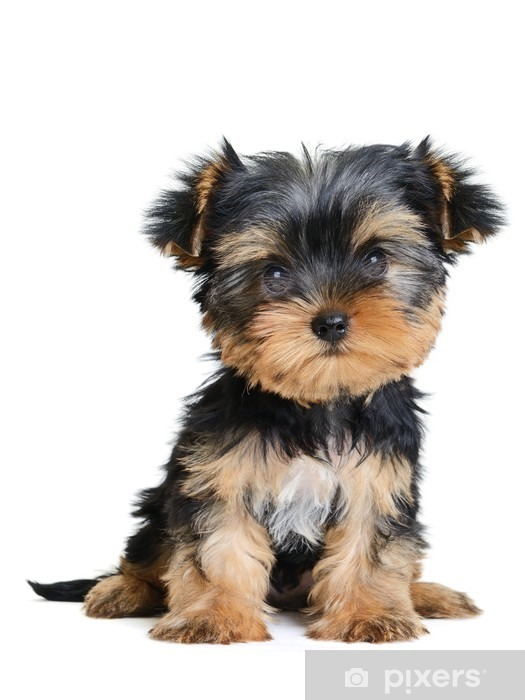 Yorkshire Terrier Wall Mural Pixers 174 We Live To Change