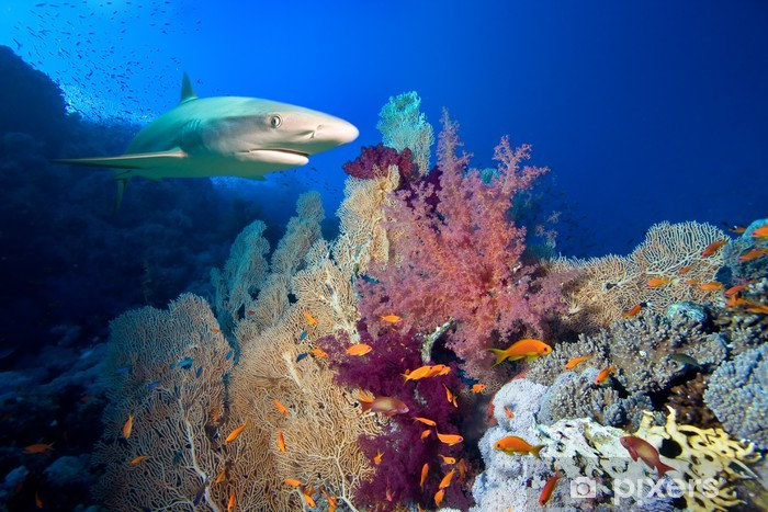 Naklejka Pixerstick Podwodne zdjęcia rafy koralowej z rekina - Rekiny