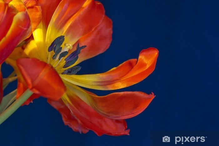 Vinyl-Fototapete Eine rote und gelbe Tulpen mit blauem Hintergrund. - Blumen