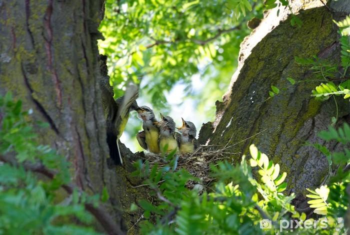 Fototapeta winylowa Zachodnia Kingbird - Ptaki