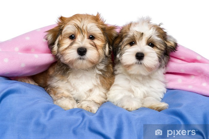 Two Cute Havanese Puppies Are Lying In