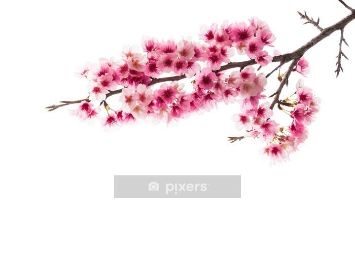 Naklejka na ścianę Sakura kwiat wiśni - Kwiaty