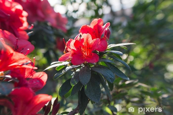 Açelya Kırmızı Bahar çiçekleri Açan Duvar Resmi Pixers Haydi