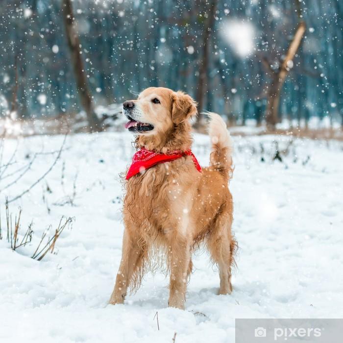 Plakat Golden retriever spacer w parku - Ssaki
