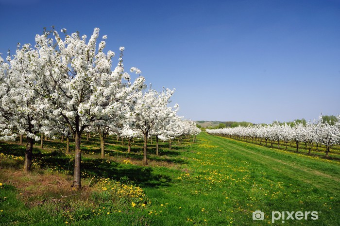 Papier peint vinyle Cerisiers en fleur - Saisons