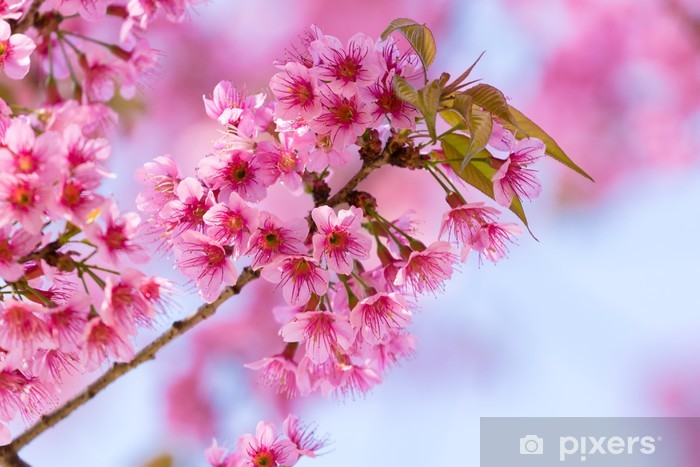 Nálepka Pixerstick Sukura květiny Thajska - Květiny