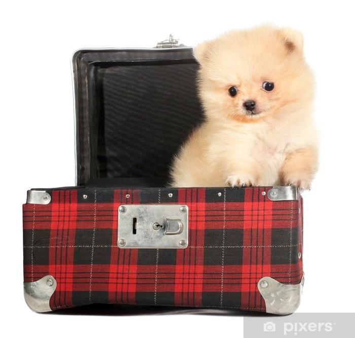 Papier peint vinyle Chiot Poméranie potes petit chien de vieille valise - Mammifères