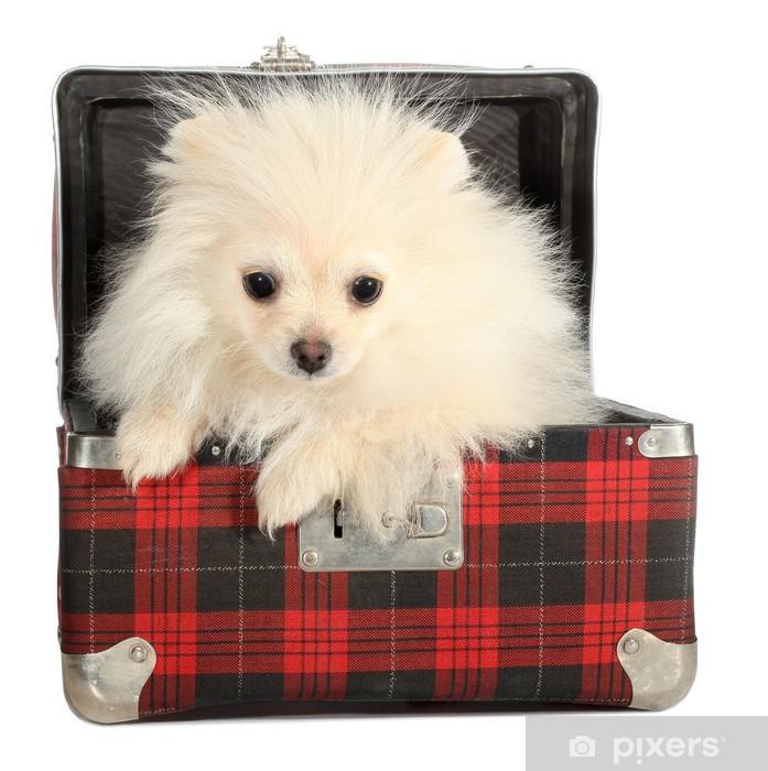 Fototapeta winylowa Pomorska puppy mały pies ćwierkania od starych walizka - Ssaki