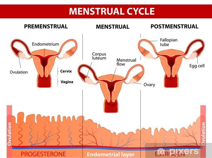 Papier peint vinyle Le cycle menstruel - Santé et médecine