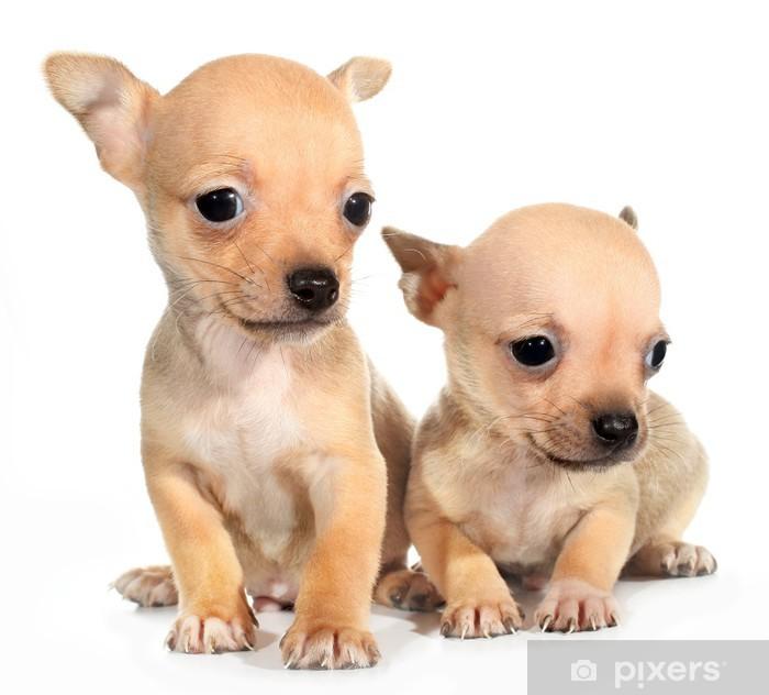 Plakat Dwa tan chihuahua szczeniak małych psów - Ssaki