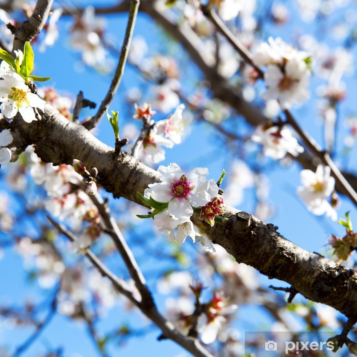Poster Amandier - Fleurs