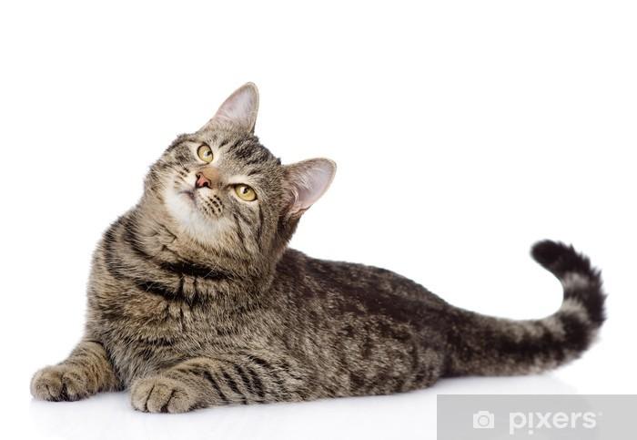 fotobehang cyperse kat liggen en opzoeken. geïsoleerd op witte