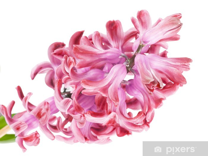 Fototapeta winylowa Różowy hiacynt na białym tle - Kwiaty