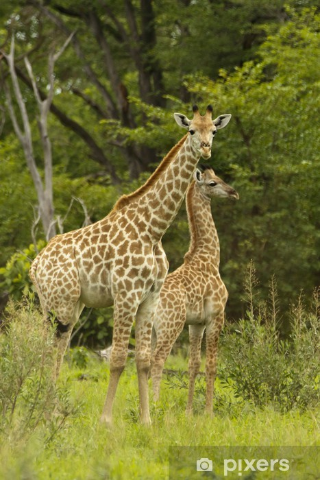 Fotomural Estándar Madre de la jirafa con niño - Temas