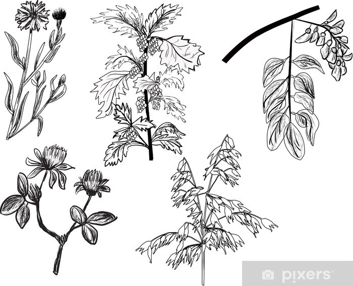 Fototapeta winylowa Zestaw pięciu dzikich ziół szkice na białym - Rośliny