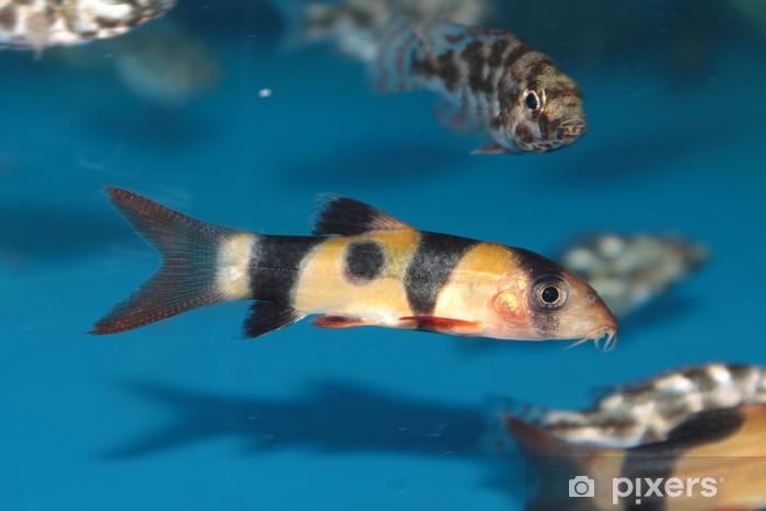 Clown Loach Botia Macracantha Freshwater Aquarium Fish Sticker Pixers We Live To Change