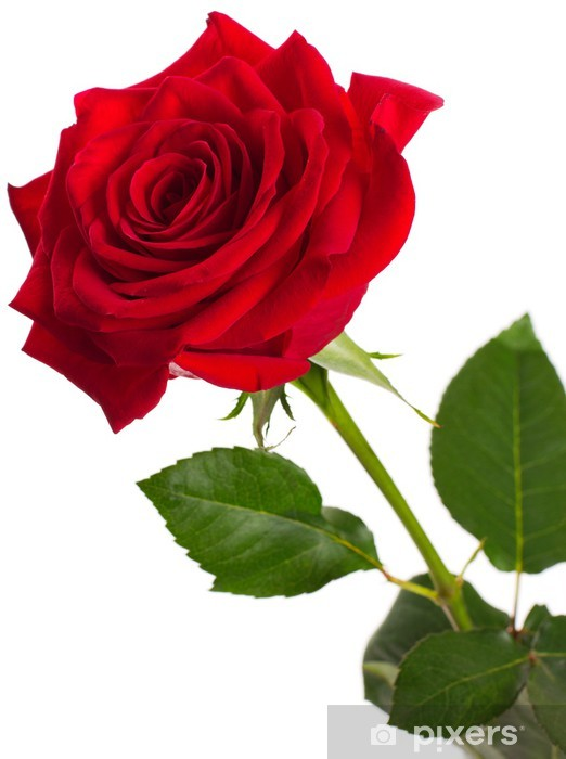 Papier peint vinyle Red rose - Fleurs