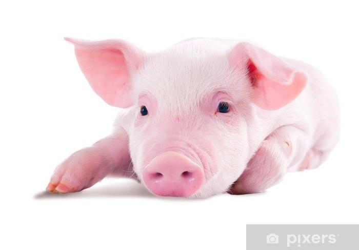 Vinilo para Mesa y Escritorio Cerdo rosado en mentir sobre su estómago. Aislado en el fondo blanco - Mamíferos