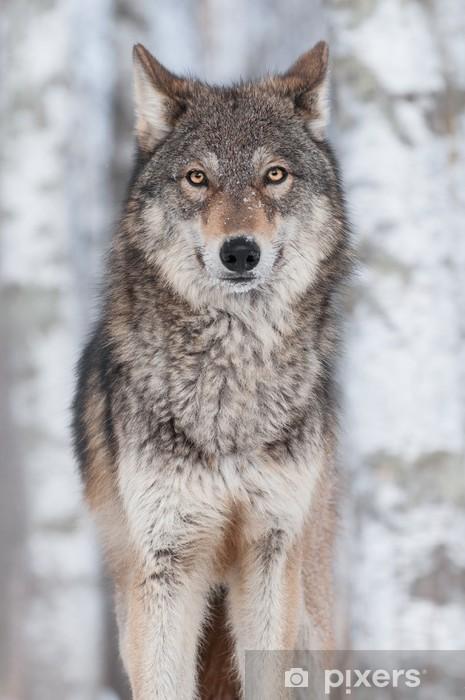 Nálepka Pixerstick Šedý vlk (Canis lupus) Straight On - Roční období