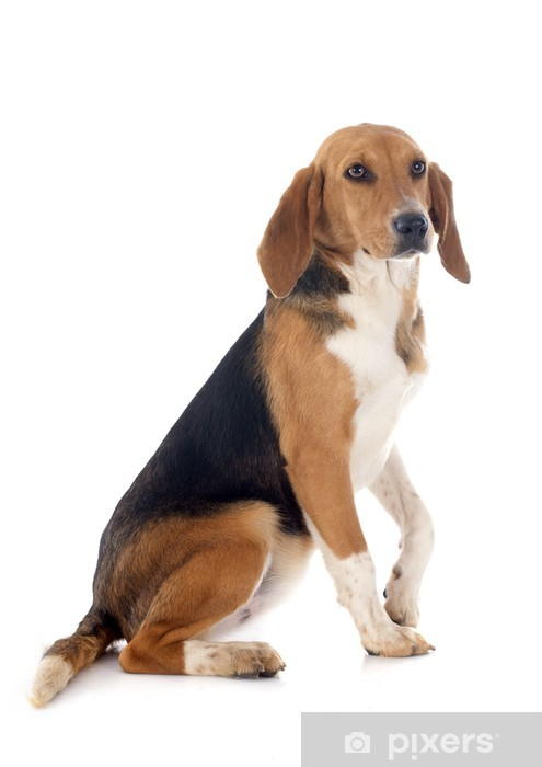 Vinyl Fotobehang Beagle Harrier - Zoogdieren