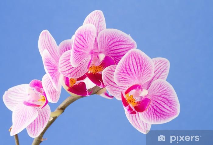 Carta Da Parati Phalaenopsis Fiori Di Falena Orchidea Su Sfondo Blu