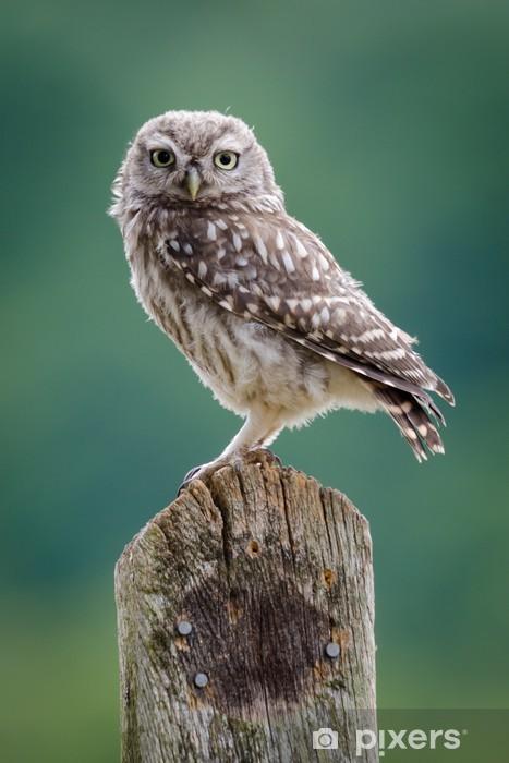 Papier peint vinyle Royaume-Uni sauvage Little Owl - Thèmes
