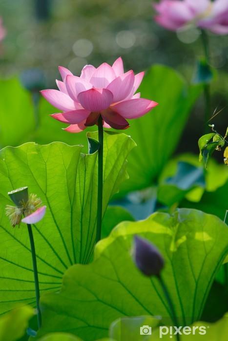 Papier peint vinyle Pleine fleur de lotus - Fleurs