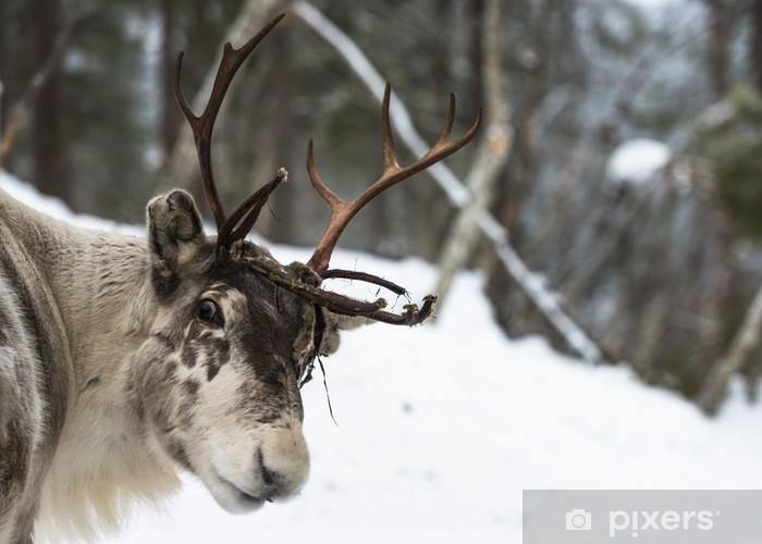 Vinyl Fotobehang Rendier zich in de sneeuw - Europa