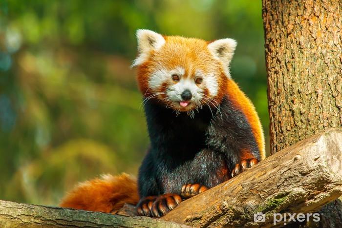 Vinylová fototapeta Červená panda - Vinylová fototapeta