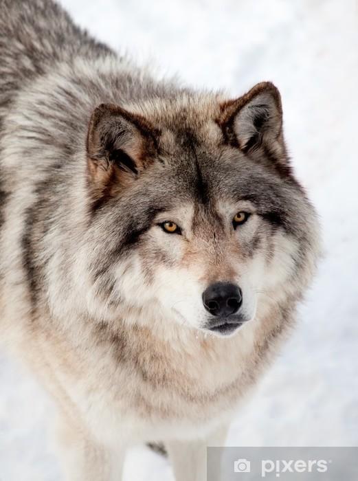 Papier peint vinyle Loup gris dans la neige Regardant la caméra - Thèmes