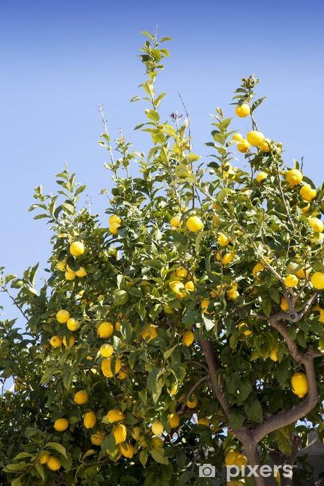 Papier peint vinyle Citronnier avec de beaux citrons mûrs organiques - Europe