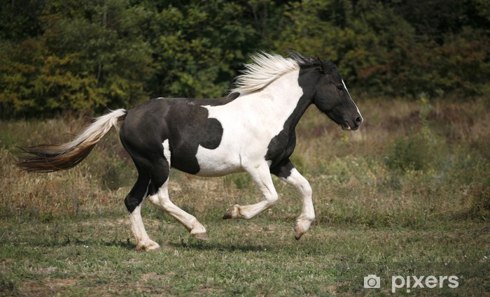 Beautiful black and white horse running in pasture Wall ...