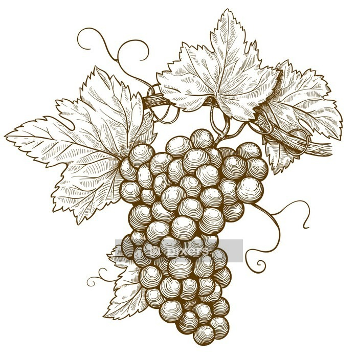 engraving grapes on the branch on white background Wall Decal - iStaging 2