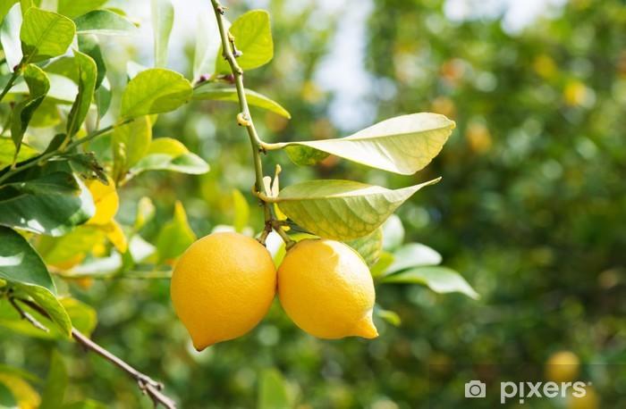 Fototapeta winylowa Cytryny w sadzie - Przeznaczenia