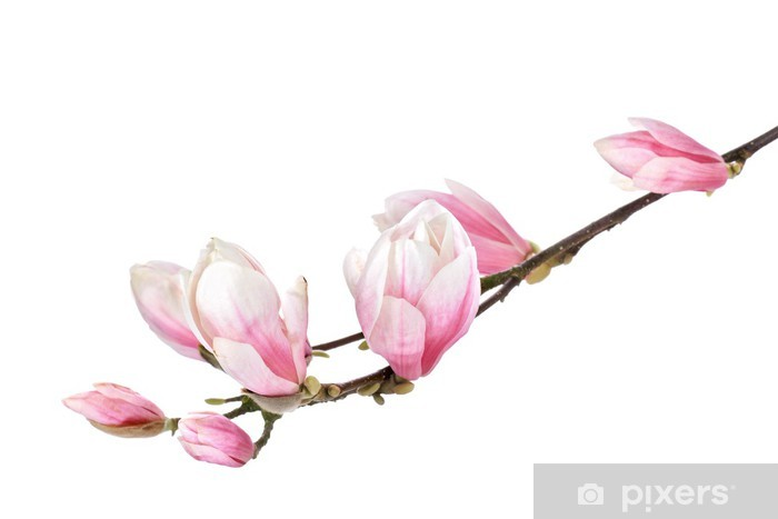 Magnolia Flower Branch Isolated On A White Background Sticker