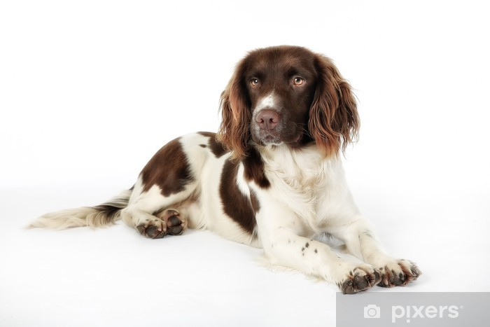 english springer spaniel wall mural • pixers® • we live to change