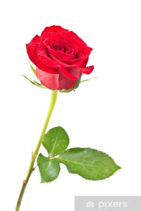 Fototapeta winylowa Róża samodzielnie. - Tematy
