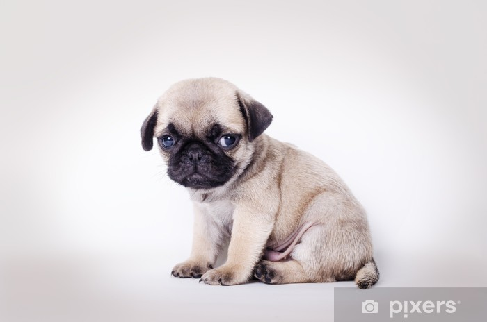 Vinyl Fotobehang Fawn pup mopshond zittend - Mopshonden