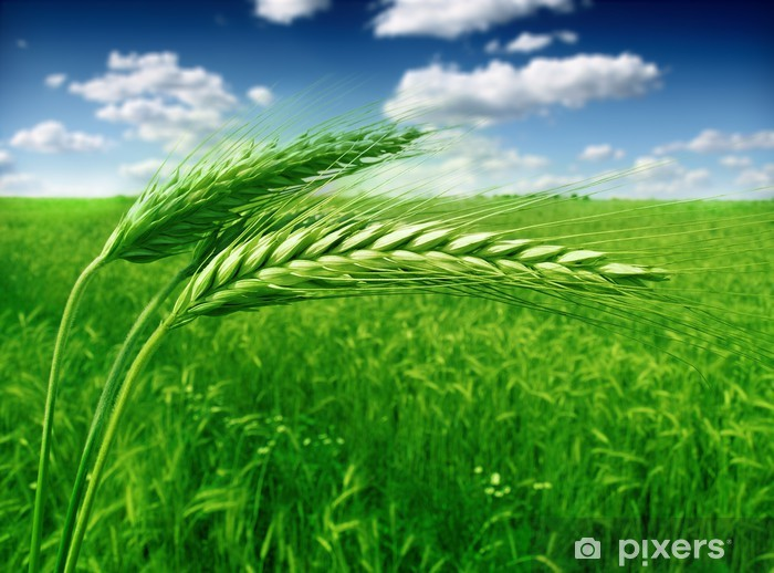green wheat field and blue cloudy sky Vinyl Wall Mural - Agriculture