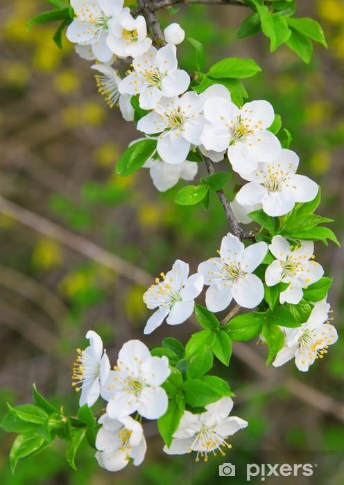 Fiori Bianchi Di Primavera.Carta Da Parati Fiori Bianchi Di Ciliegio Sul Ramo Albero Fiore