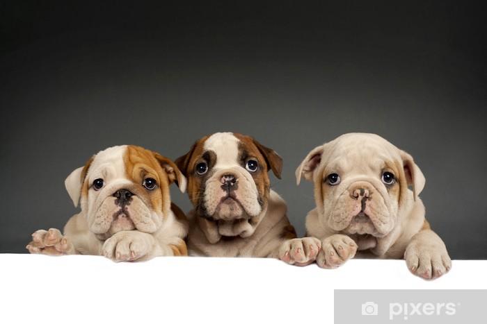 Vinyl Fotobehang Engels bulldog pups - Zoogdieren