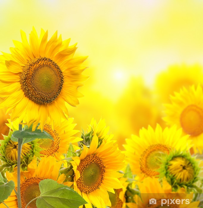 Field with sunflowers. isolation Pixerstick Sticker - Themes