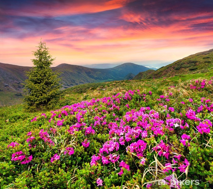 Magic pink rhododendron flowers in the mountains. Pixerstick Sticker - Mountains