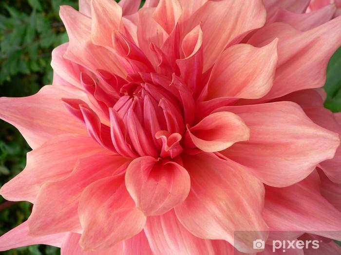 Fototapeta winylowa Dahlia / Georgine - Kwiaty