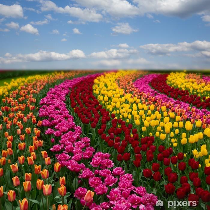 Plakat Holenderskie kolorowe pola tulipanów w słoneczny dzień - Tematy