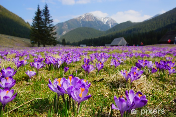 Crocuses in Chocholowska valley, Tatra Mountains, Poland Vinyl Wall Mural - Europe