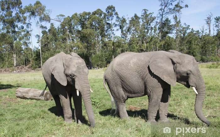 Fototapeta winylowa Młodych słoni afrykańskich jedzenia trawy. Afryka Południowa - Tematy